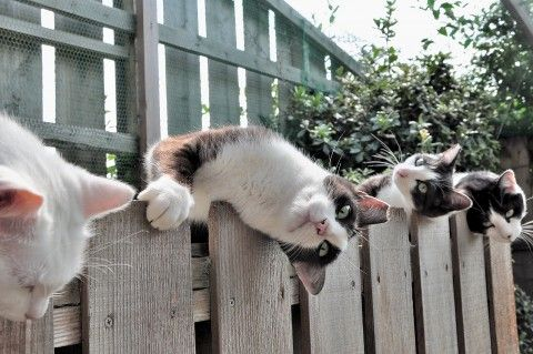 whatcha doing?Animal Planets, Kitty Cat, Funny Cat, Kitty Kitty, Crazy Cat, Sunny Day, Cat Fence, Furries Friends, Silly Cat