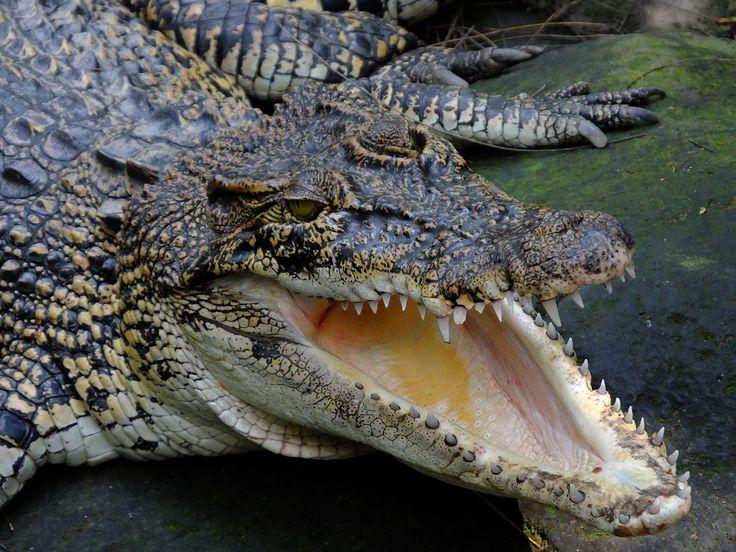 Saltwater Crocodile | Buaya Muara