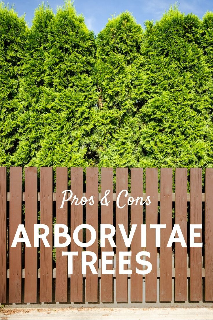 Arborvitae Pros And Cons Disadvantages And Benefits Of Arborvitae Trees Gardening Know How S Blog In 2020 Arborvitae Tree Arborvitae Planting Arborvitae