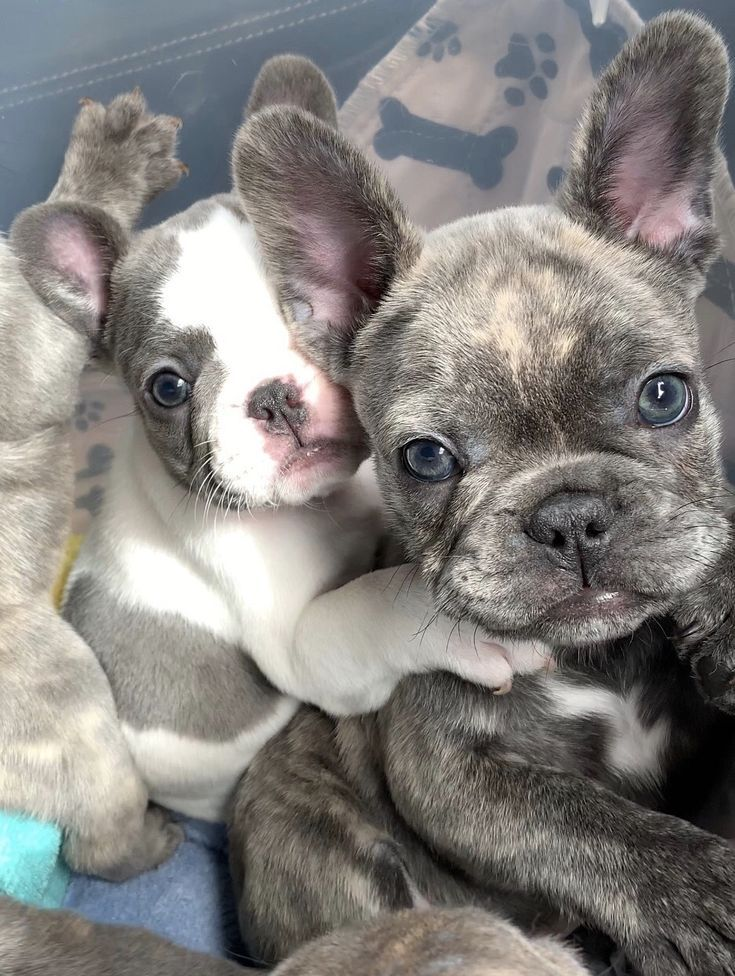 Those Eyes I M Weak Frenchbulldog Poeticfrenchies Frenchie