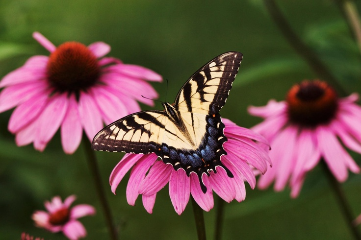 Buterfly on echinacea