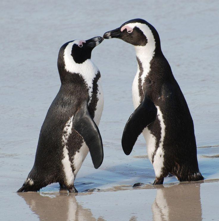 penguins - Google Search | Animals | Pinterest | African penguin ...