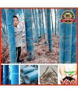 200+ Rare Blue Bamboo Seeds, Decorative Garden ... - $11.38