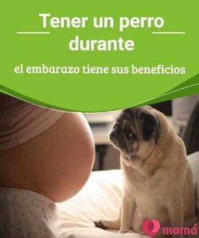 Tener un perro durante el embarazo tiene sus beneficios   Pese a lo que se podría creer, tener un perro durante el embarazo tiene claros beneficios, pues es un ser que como parte de la familia brinda un apoyo