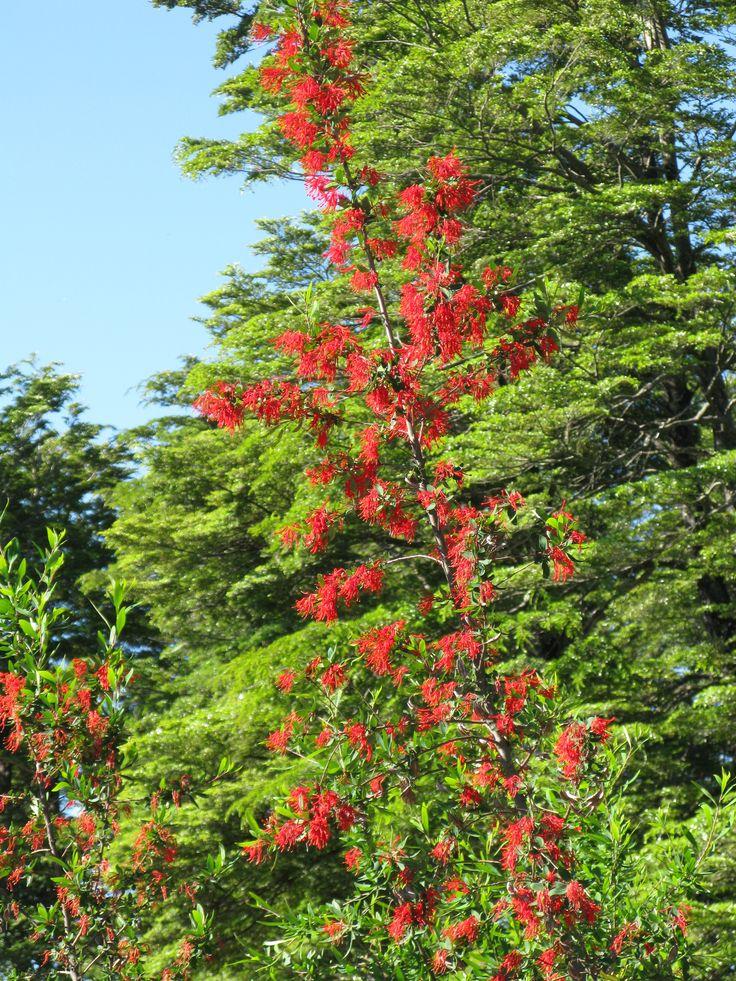 A Chilean Firebush - Embothrium coccineum - known as Notro in Chile.