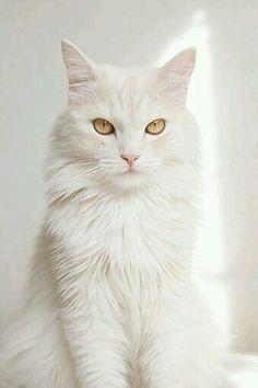 b43cdbdeaa Beautiful Turkish Angora Cat. Beautiful Turkish Angora Cat Cute Cats And  Kittens ...