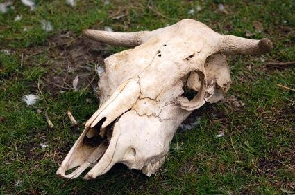 How to Paint Cow Skulls
