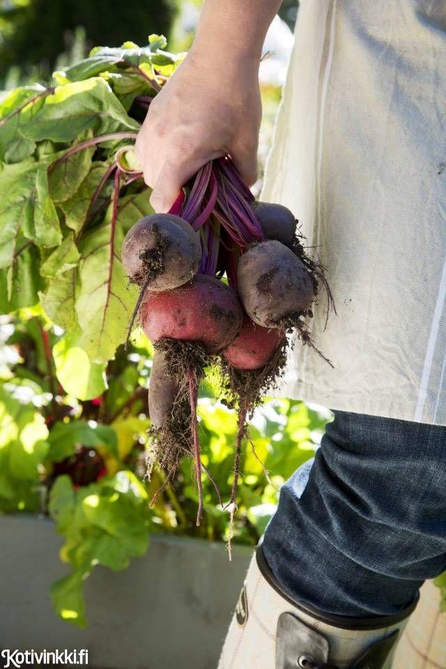 Punajuurten kasvatus on palkitsevaa. Itse kasvatetut punajuuret kannattaa käyttää kokonaan, heitä naatit salaattiin ja paahda juurista vaikkapa sipsejä.  Punajuurten kasvatus juurikaskimpp   Punajuurten kasvatus
