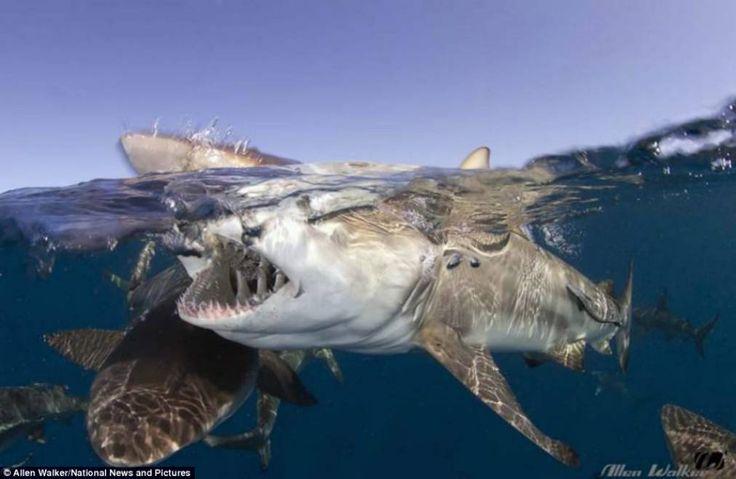 Shark Park in South Africa - Astonishing Underwater Photography  Best of Web Shrine