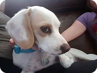 Surprise, AZ - Beagle Mix. Meet Bonnie, a dog for adoption. http://www.adoptapet.com/pet/16923682-surprise-arizona-beagle-mix