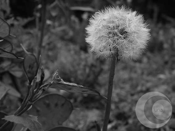 dandelions.  dens leonis.  Flor hermafrodita.  DIENTE DE LEÓN.  Reino:Plantae;    División:Magnoliophyta;    Clase:Magnoliopsida;    Subclase:Asteridae;    Orden:Asterales    Familia:Asteraceae;    Subfamilia:Cichorioideae;    Género:Taraxacum  Cass;    Especie:T. officinale;    DSCF0010-