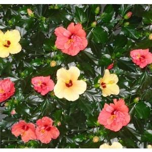 Hibiscus h35 d12cm
