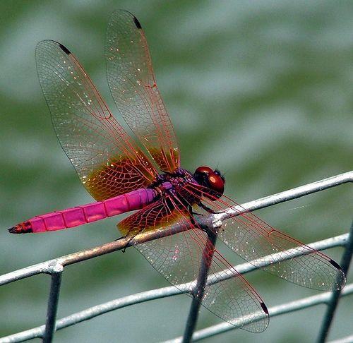Hong Kong Park - Dragon Fly - September 2005