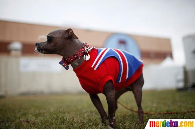 Anjing-anjing ini memakai pakaian lucu saat kontes.