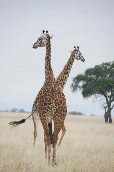 Little Chem Chem - the ultimate & intimate safari-chic, where stately giraffe and elephant march past the door and cheetah slink down to Lake Burunge right under your nose. Timbuktu Travel.