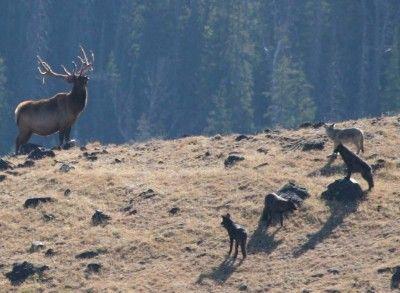 Vidéo: 20 ans plus tard, qu-a changé la réintroduction du loup au Parc Yellowstone