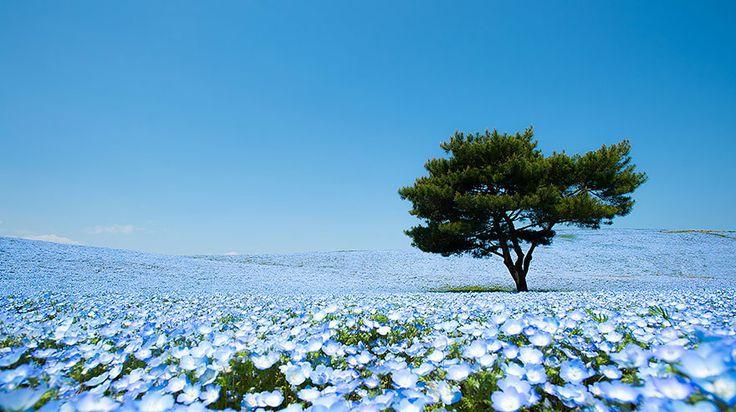 Mesmerizing Field Of Blue Flowers In Hitashi Seaside Park In Japan Image by Teerayut Hiruntaraporn