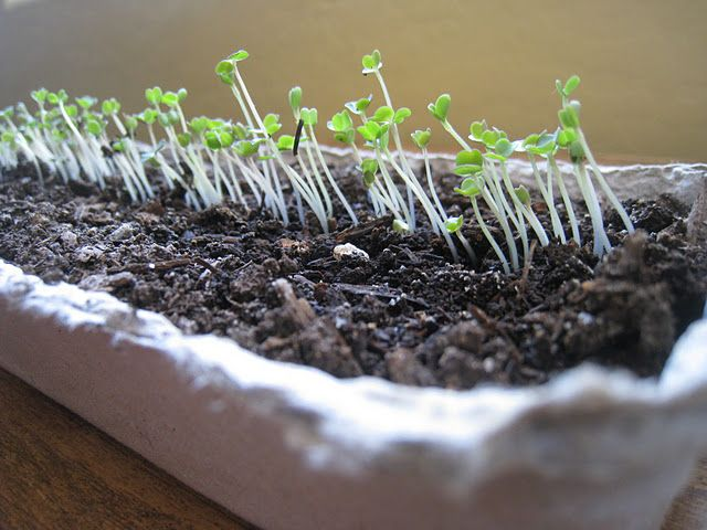 Grow your own spinach indoors all winter.