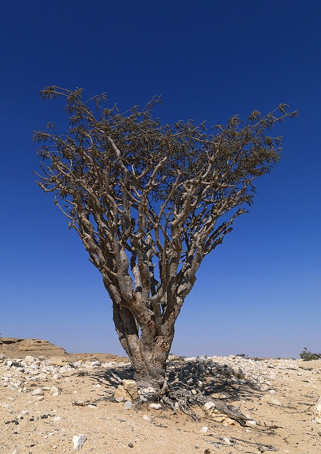 Frankincense tree in Wadi Dawkah - Oman by Eric Lafforgue, via Flickr