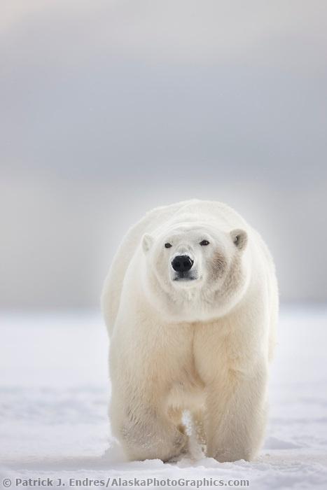 Her adult polar bear suck wifes lover