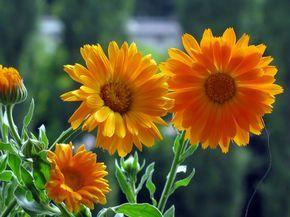 Zo všetkých kvitnúcich, liečivých byliniek, je nechtík lekársky, moja najobľúbenejšia bylinka. Vždy sa teším na prvé rozkvitnuté žlto-oranžové kvietky. S nimi je naša záhrada hneď veselšia :) Už sa…
