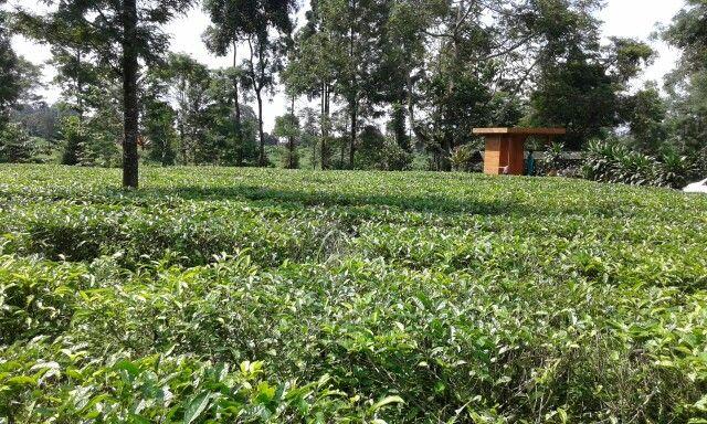 @Gunungmas-tea garden