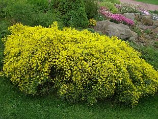 genista lydia - Google Search