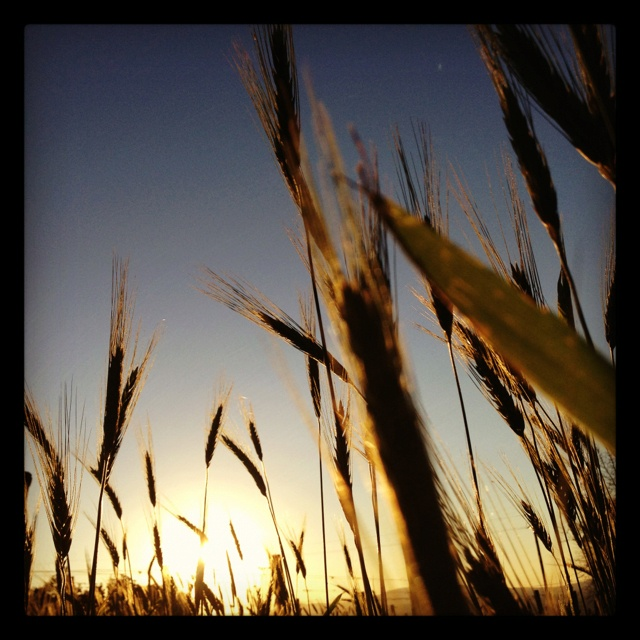 Sunset through a wheat plantation.