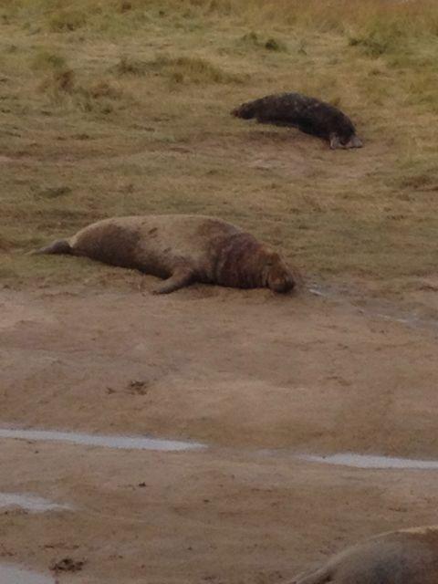 Donna Nook : A daddy seal!