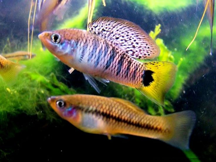 1000 images about aquarium fish livebearers on Livebearer aquarium fish