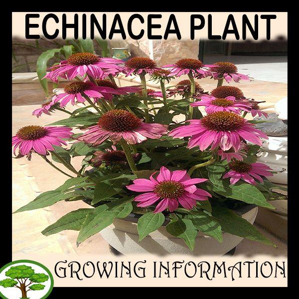 Echinacea Plant Echinacea Plant Sale Plants