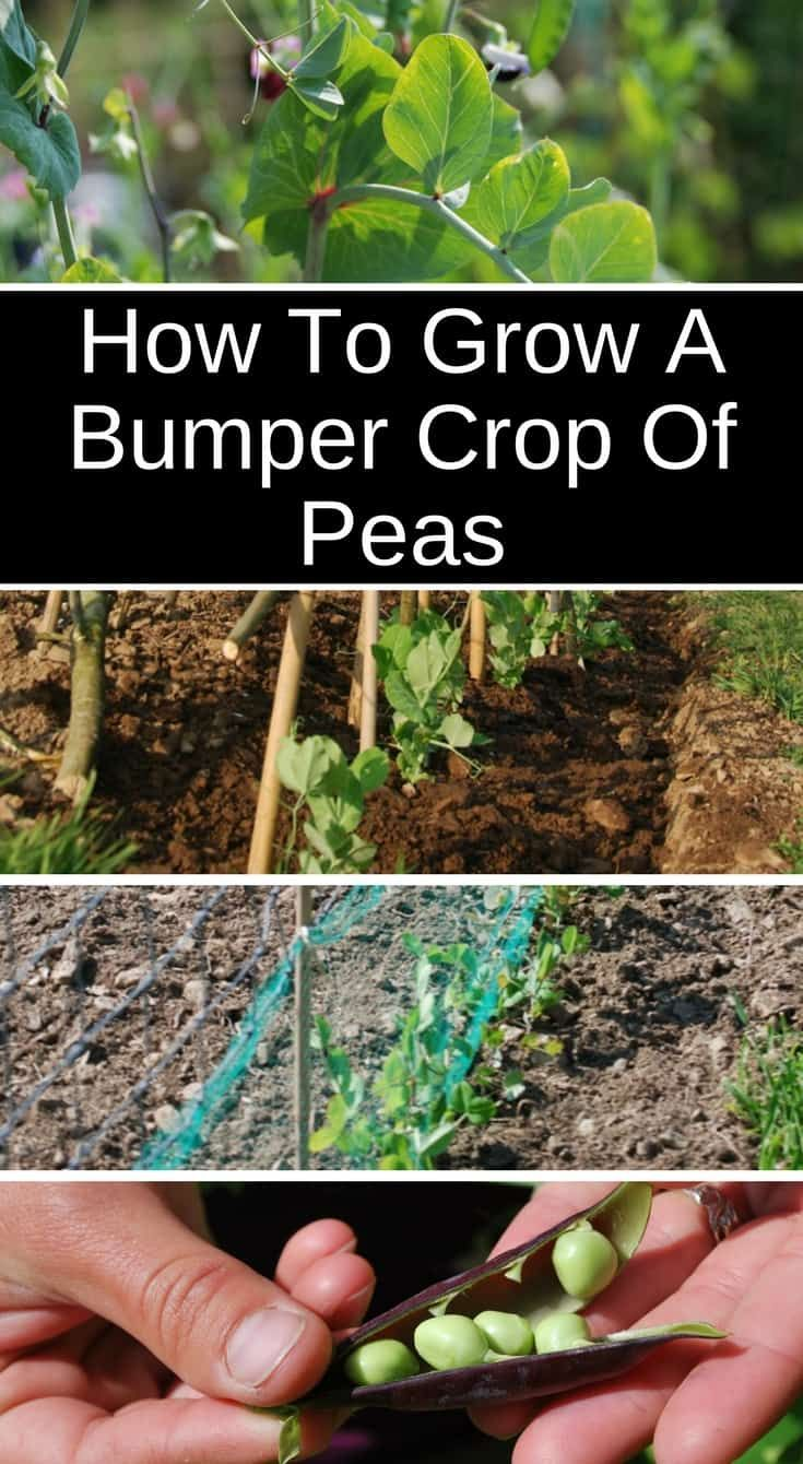 How To Grow A Bumper Crop Of Peas