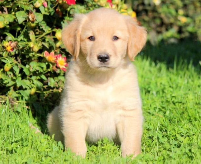 Golden Labrador Goldador Puppies For Sale Labrador Puppy