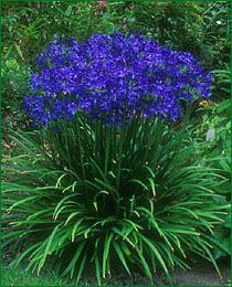 The Agapanthus or the Blue African Lily is one of the aristocrats of the late summer garden. The exotic combination of graceful foliage and stunning flowers is equally impressive in the border or large terracotta planter