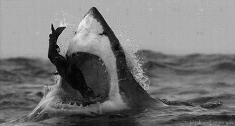 Fondos animados de tiburones atacando a su presa.