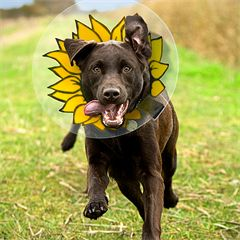 """""""Shameless Cones: Rehab in Style."""" This lovely write-up of our Sunflower E-Collars was published recently by the kind folks at Poochy Doos in Fort Collins, CO."""
