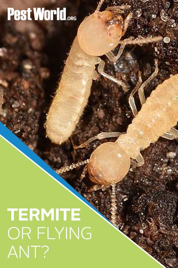 Termites Are Known As Silent Destroyers Because Of Their Ability To Chew Through Wood And Flooring In A Home Fo In 2020 Termites Termite Infestation Drywood Termites