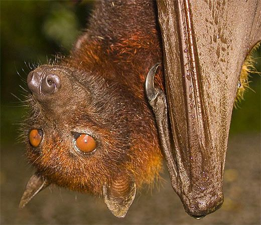 brown fruit bat     ------------     Bats are the most widely distributed terrestrial mammal. They are found in Alaska, to the bottom of Argentina and from near the Arctic Circle to South Africa. They really enjoy the tropical regions and temperate zones.