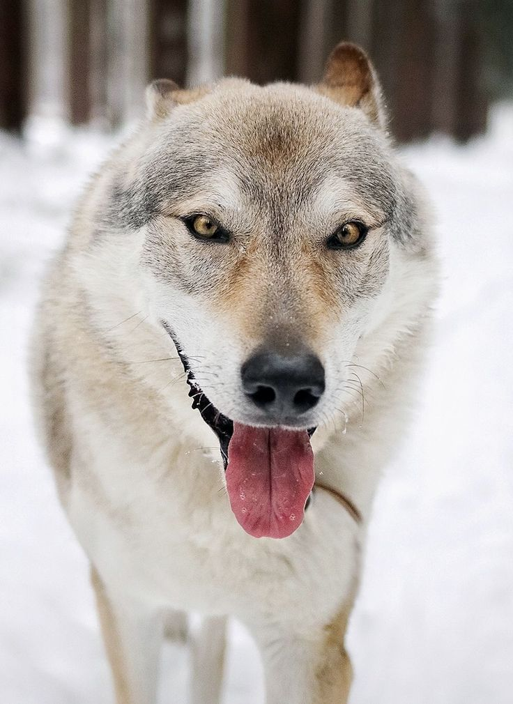 There's something incredibly gentle in wolf's / wolfdog's eyes. Contrary to their unfavorable reputation, these animals are very kind and fair. They never react based purely on their mood, every reaction is caused by an action. Once they are treated with love, kindness, and respect, they show their true colors. ...and it's a rainbow.  #wolfdog