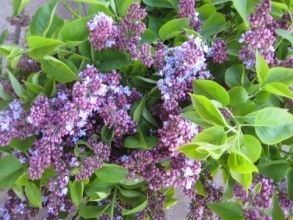 Lilac, California-lavender - Wholesale Flowers for weddings and events – Wholesale Florist – Floral, Floral Supply, Flower Distributor