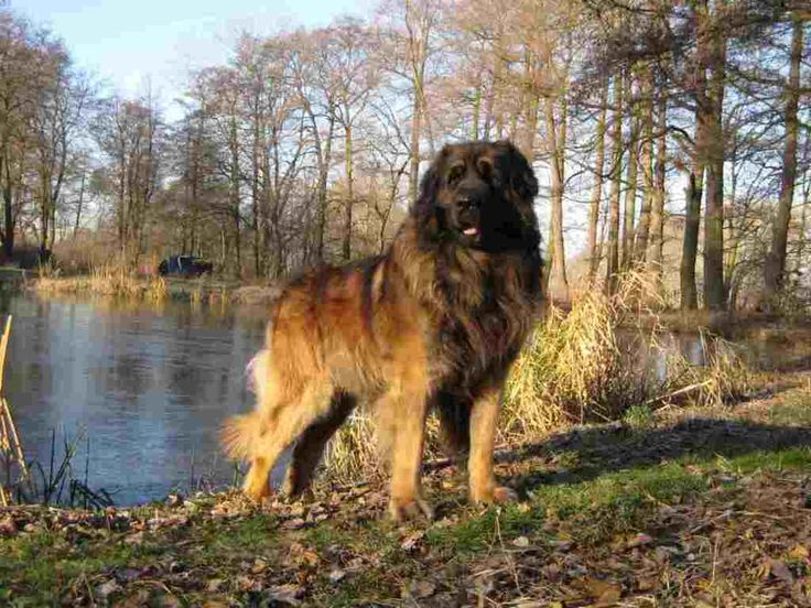 """The Giant Leonberger Dog """"The New Lion"""" (12)"""
