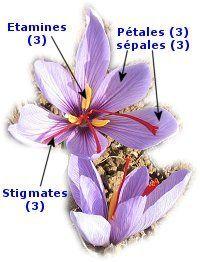 L'épice safran - Du bulbe de crocus sativus à la fleur de safran