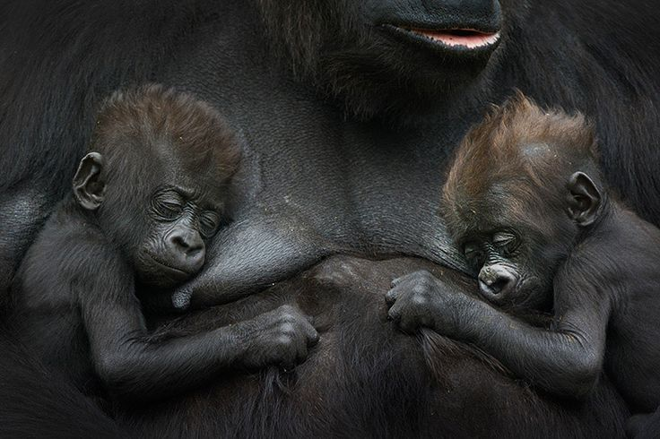 Western lowland gorilla; Gorilla gorilla gorilla; captive; Criti