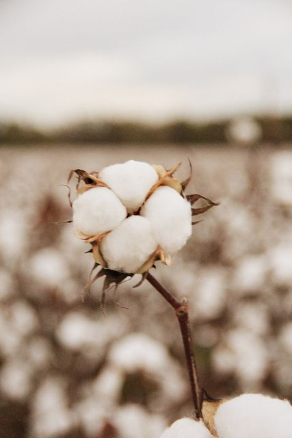 Oh I wish I was in the land of cotton...