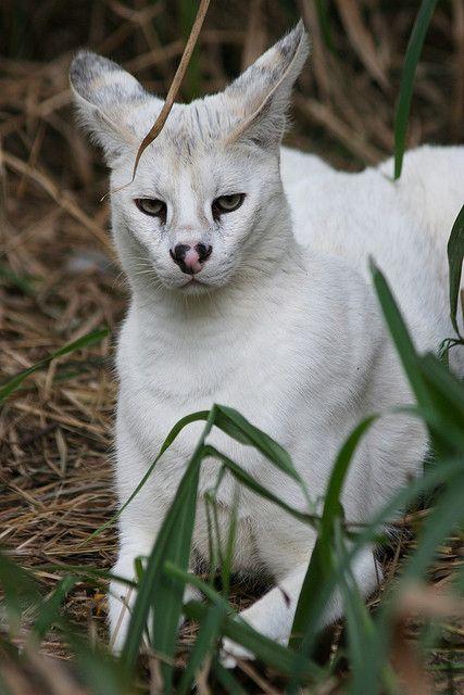 Pharaoh - White Serval by BigCatRescue on Flickr