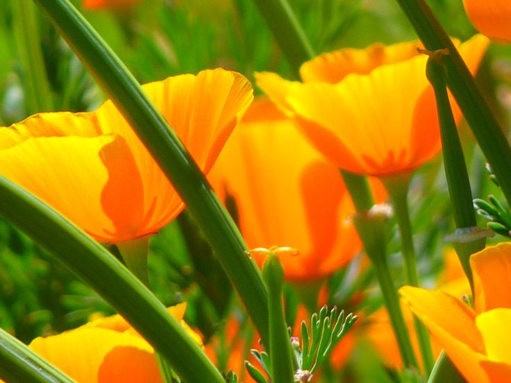 blossom-plant-field-meadow-flower-petal-bloom-orange-color-colorful-yellow-flora-wildflower-bright-poppy-papaveraceae-macro-photography-flowering-plant-mohngewaechs-eschscholzia-californica-plant-stem-land-plant-iceland-poppy-naked-stalks-poppy-papaver-nudicaule-neon-orange-1151365.jpg (4000×3000)