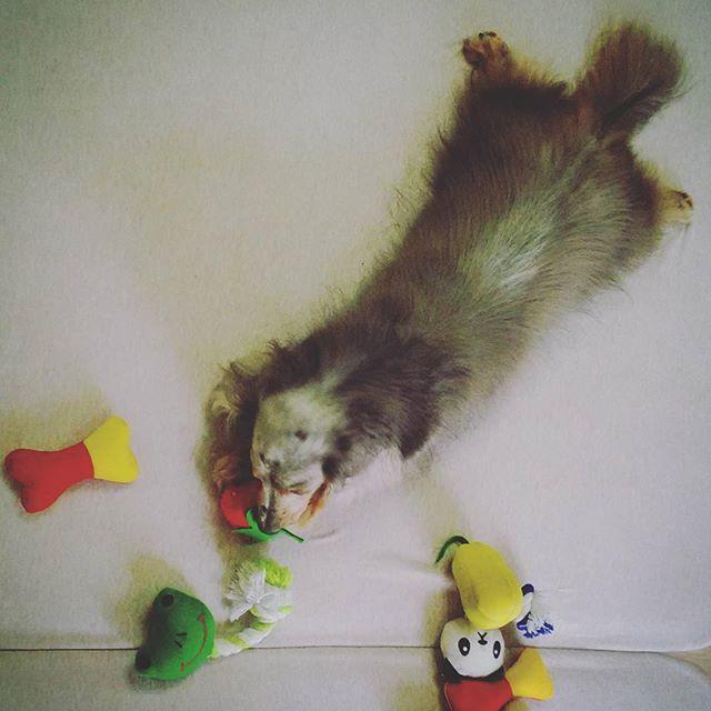 🐶平和の為に家に帰って家族を大切にする * ... #rescuedog  #dachshund  #dog  #happy #実のところ #フィリピンに住んではいるものの #結構インドア派 #っていうか #今住んでる外国人エリアから #出ようものなら #次の日にマニラ湾あたりに #沈んでるんじゃないかと #裏路地で #銃社会のあらゆる犯罪に #巻き込まれる危険とか #不用心きわまりなく思い #心配性なとこあって #大してフィリピンのこと知らないです #ポッケとインドア派 #里親になって幸せです 。 #愛犬  #海外生活  #ダックス  #犬のいる暮らし 🐶 What can you do to promote world peace? Go home and love your family * ...........