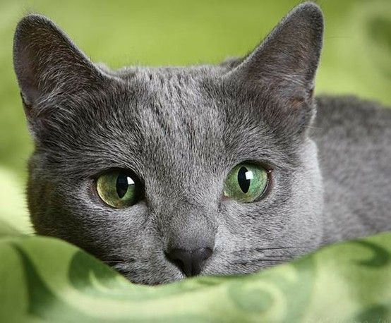 395 best ~ Willow, The Best Cat Ever! ~ images on ... Russian Blue With Green Eyes
