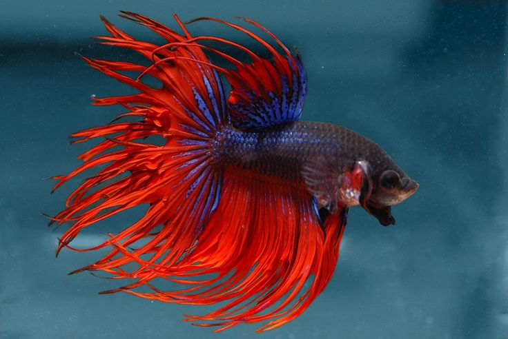 This is what clark is hopefully going to look like red for Buy betta fish