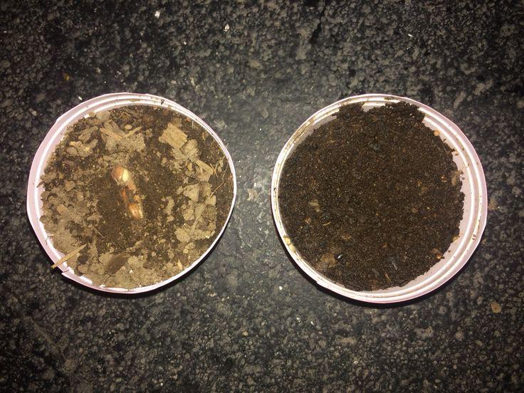 Estas son las dos macetas plantadas con semillas de zanahoria, al igual que las otras cuatro nos damos cuenta que solo una de las dos ha dado fruto y también nos damos cuenta que es la de crecimiento mas lento.   Male Hdz  29/04/15